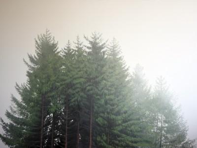 Sapins dans la brume