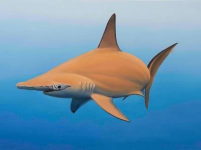 requin marteau curieux